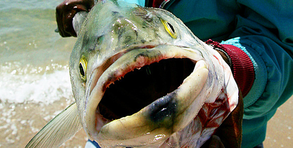 Fukushima the curse of wormwood coercion code dark for Pacific ocean radiation fish